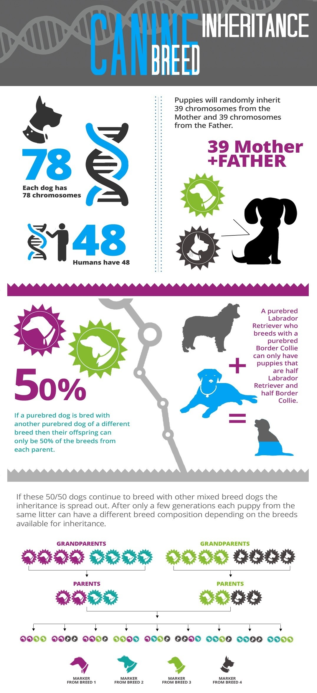 AffinityDNA Canine Breed Inheritance Infographic